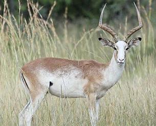 Impala White Flanked