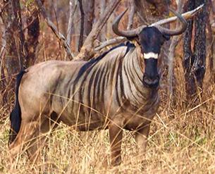 Wildebeest Nyasa