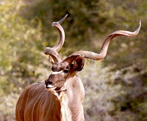 kudu moz