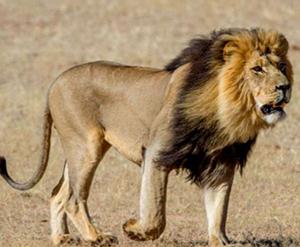lion moz