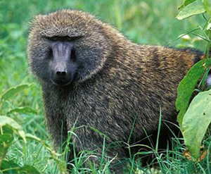 realora-baboon-yellow