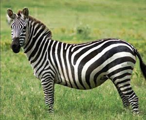 zebra-boehms moz